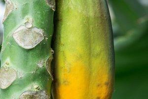 Unripe papaya fruit on the tree.