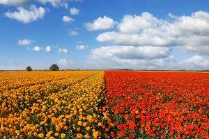 Huge field  buttercups