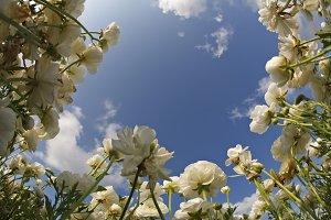 white buttercups