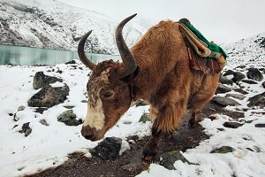 Yak carrying stuff in Nepal