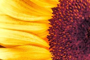 Sunflower, macro shot