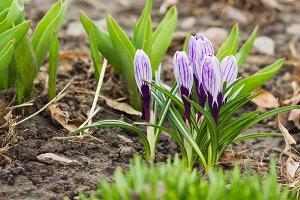 Violet crocus on the flowerbed, soft focus background