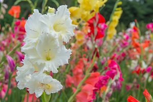 Gladiolus flowers in garden