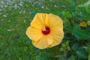 Fresh hibiscus yellow flower