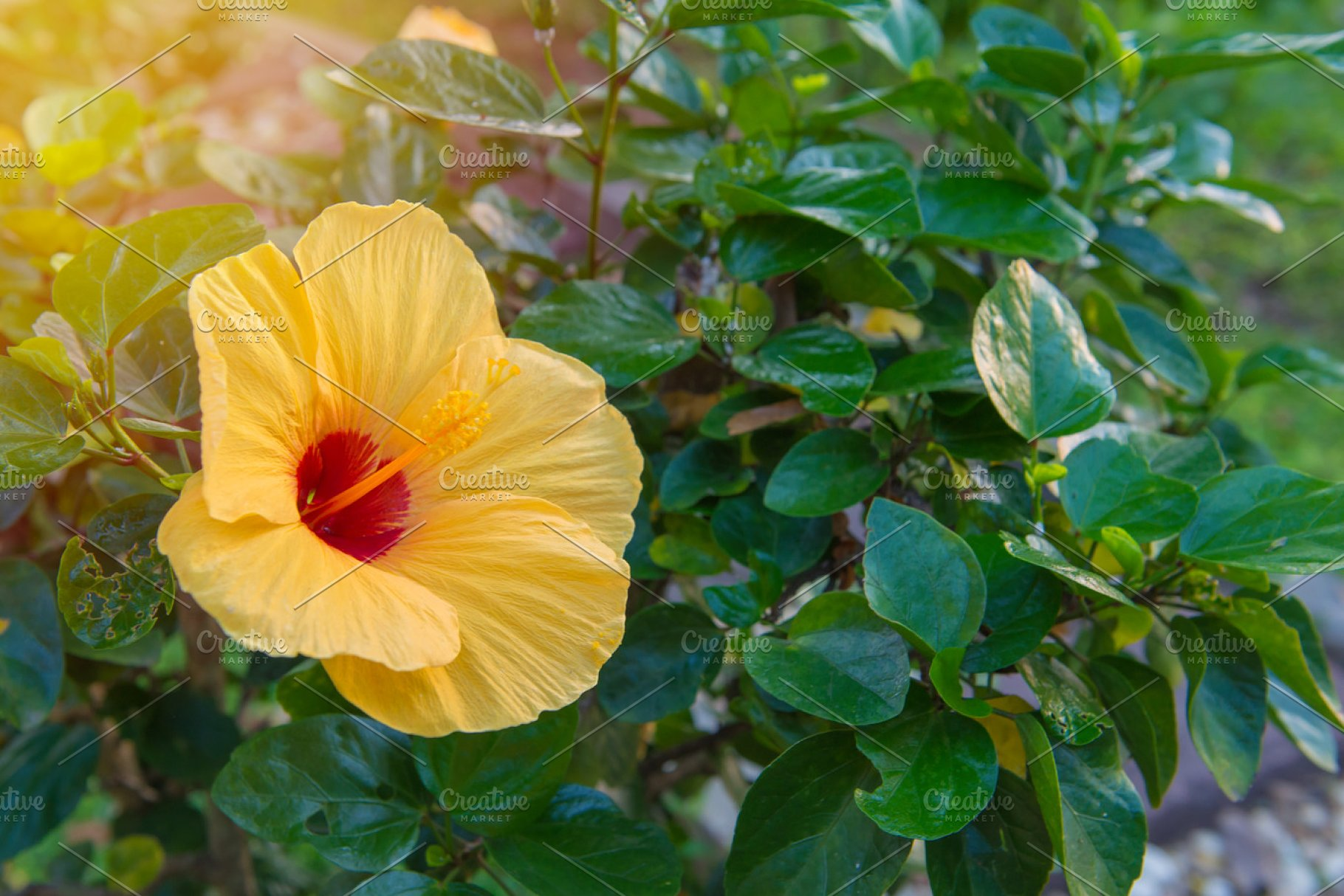Fresh Hibiscus Yellow Flower Nature Photos Creative Market