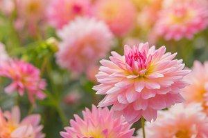 dahlia pink flower in garden.