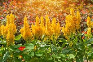 Plumed cockscomb blossom or Celosia