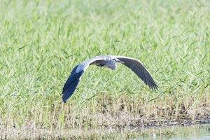 argea cinerea, grey heron