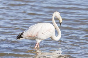 phoenicopterus ruber, greater flamin