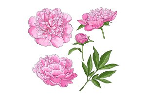 Peony flowers, bud, leaves, hand drawn sketch style vector illustration