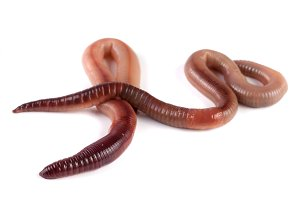 Two earthworms isolated on white background