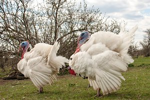 white turkey male or gobbler in the village