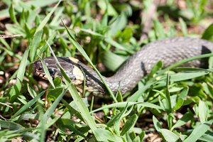 grass snake Natrix natrix in the grass