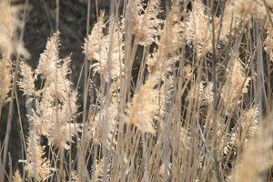 bulrush as a background