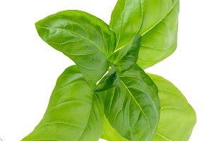 Basil leaves in closeup