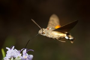 hummingbird sphinx