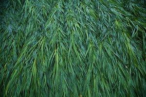 Long grass after a rain (wide)
