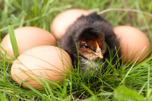 baby chicken with eggs in the green grass