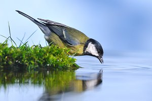 Bird drinking water