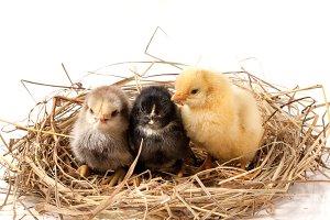 three baby chicken in the straw nest on white background