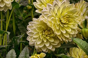 White Beauty Dahlia in Soft Tones