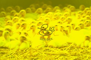 Logotype «Good Duck»