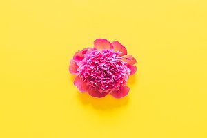 pink peony on yellow