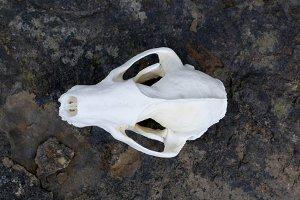 Animal Skull 2