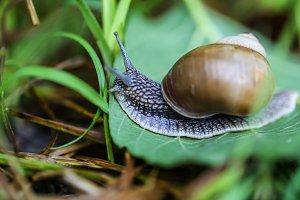big beautiful snail on a green leaf closeup