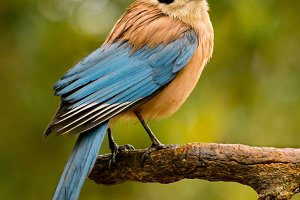 Beautiful small blue bird