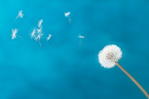 White dandelion on blue
