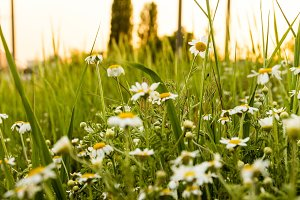 Camomile field. Wildflowers at sunset sun.