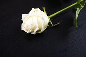 White rose on black wood background. Flowers.