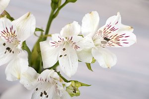 Close-up of flowers. Lilies.