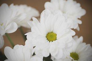 Close-up of flowers. Daisy flower. Decor.