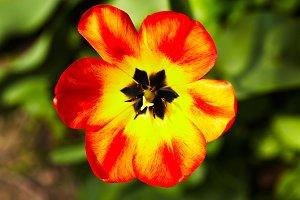 Red-yellow tulip