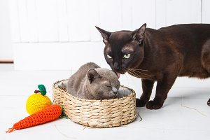 mother cat kisses, washes, licks her baby kittens. Wicker basket, white background