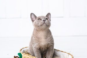 kitten gray breed, the Burmese is sitting in a wicker basket. Next toy crocheted in the form of fruit. White background.