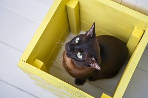 chocolate brown color European Burmese cat peeking out of a yellow box. White background