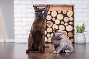 Two cats, father and son cat brown, chocolate brown and grey kitten with big green eyes on the wooden floor on dark background white brick wall and fireplace with wood in the interior