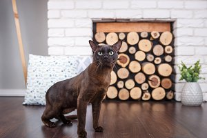 cat brown, chocolate brown with large green eyes on the wooden floor on dark background white brick wall and fireplace with wood in the interior