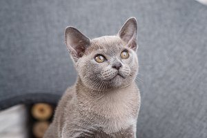 grey kitten Burmese sitting on a gray fabric chair in the interior against the white brick walls