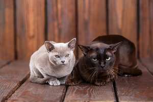 kitten and adult cat breed European Burmese, father and son sitting on wooden background. Grey and brown, color