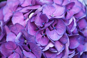 Flowers of purple hydrangea