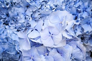 Flowers of blue hydrangeas