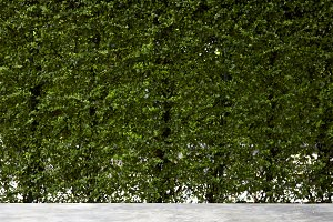 Vertical garden green leaves wall or tree fence