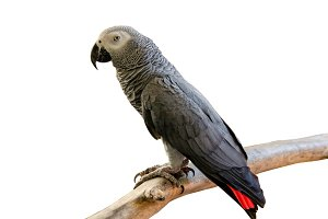 African Gray Parrot isolate on white