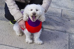 Dog white poodle with knit sweater
