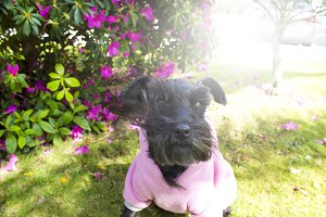 Black schnauzer dog with pink jersey