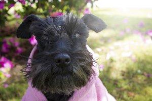 Black schnauzer dog with pink jersey